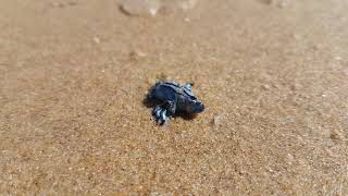 Glaucus atlanticus (Blue dragon) at Peregian Beach Sunshine Coast