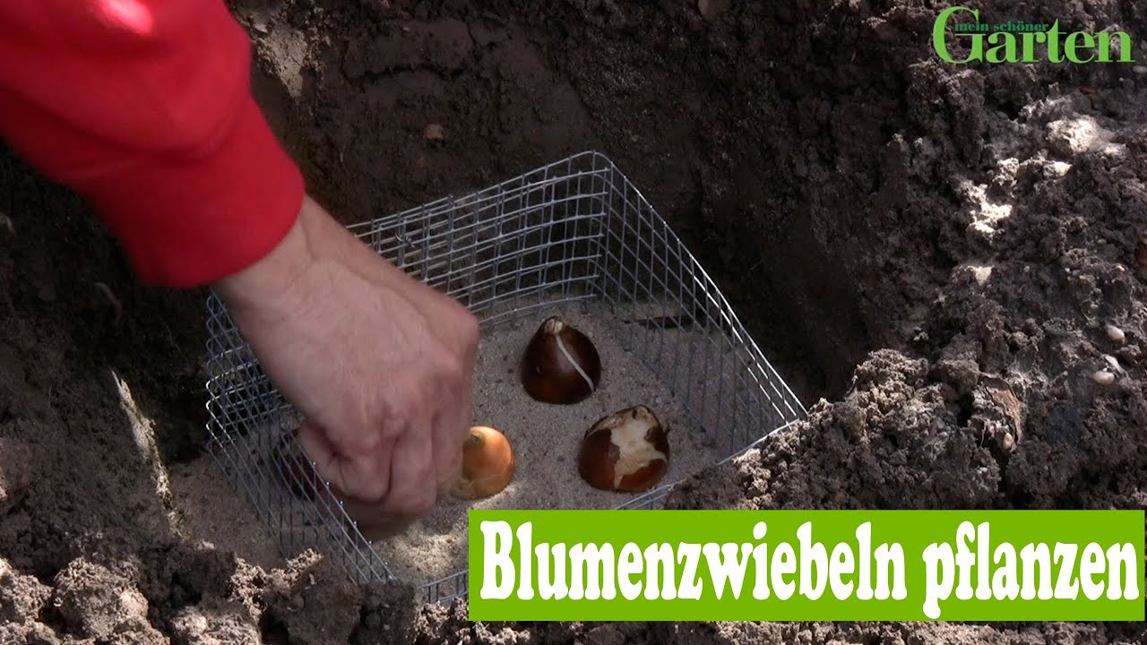 gartentipp blumenzwiebeln pflanzen youtube. Black Bedroom Furniture Sets. Home Design Ideas