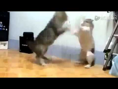 Two cats fighting funny video