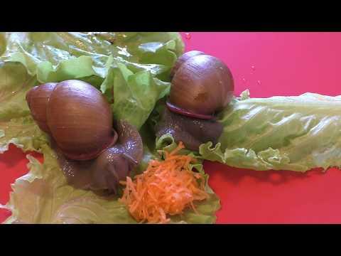 Улитки. Чем питаются улитки? Видео. What to eat snails?