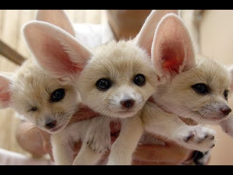 fennec fox compilation funny and cute fennecfoxes part 2 youtube