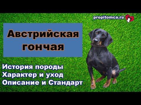 Австрийская #гончая описание породы собак гладкошерстный #бракк