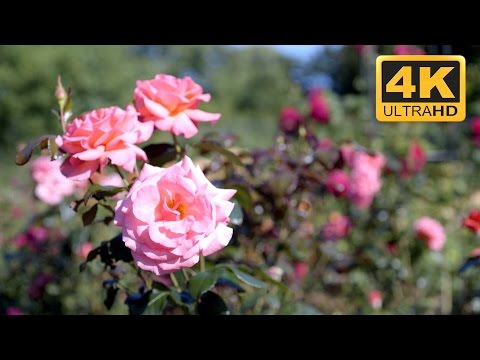 Relaxation  of Pink Roses in 4K Resolution Very Relaxing TV Screensaver