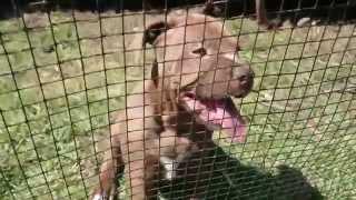 Red Nose Pitbull Welpen Apbt American Pit Bull Terrier Rednose Pitbull 12072014