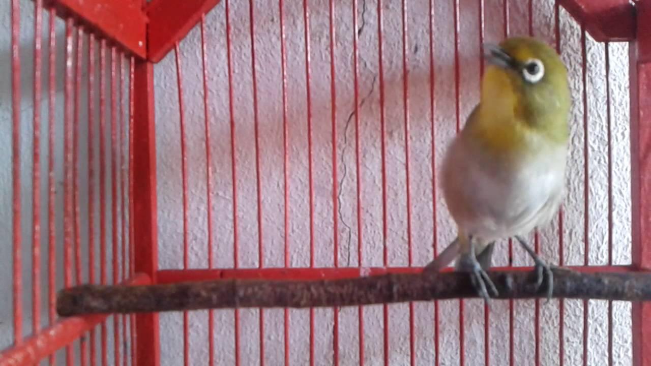 pleci montanus mata putih - YouTube 25561b3b27