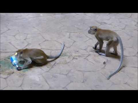 Monkeys addicted to energy drinks