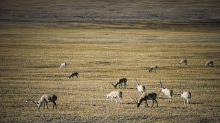Rare Footage Documents Migration Of Mongolian Gazelles