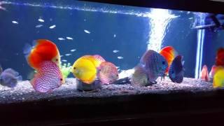 High quality discus fish 3-5.5