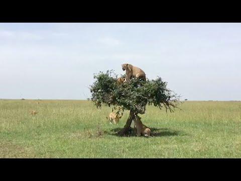 Pride Of Lions Climb Christmas Tree