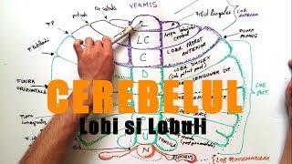 Lobatia si lobulatia Cerebelului