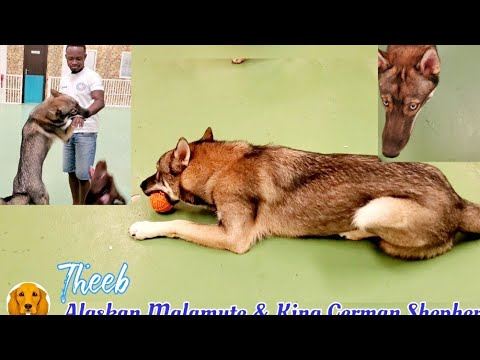 dogs-in-different-worlds-|-meet-theeb-|-the-alaskan-malamute-&-king-german-shepherd-mix-|-adorable