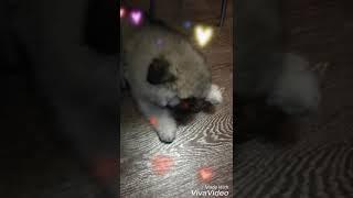 Кеесхонд/Вольфшпиц питомник Серебряный Амулет