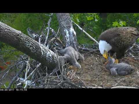 DC Eagles - **Disturbing Video** Eaglet has it's leg caught