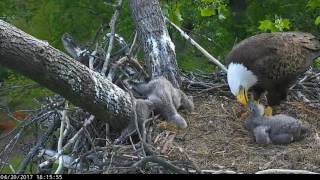 DC Eagles - **Disturbing Video** Eaglet has it's leg caught