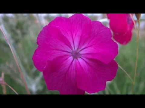 Rose campion (Silene coronaria) / Dusty Miller - 2013-07-03