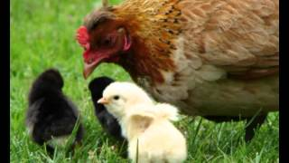 Where To Buy Cheap Chicken Coops For Sale | Place With Cheap Chicken Coops For Sale