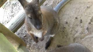 Wallaby Darned At Grants Farm