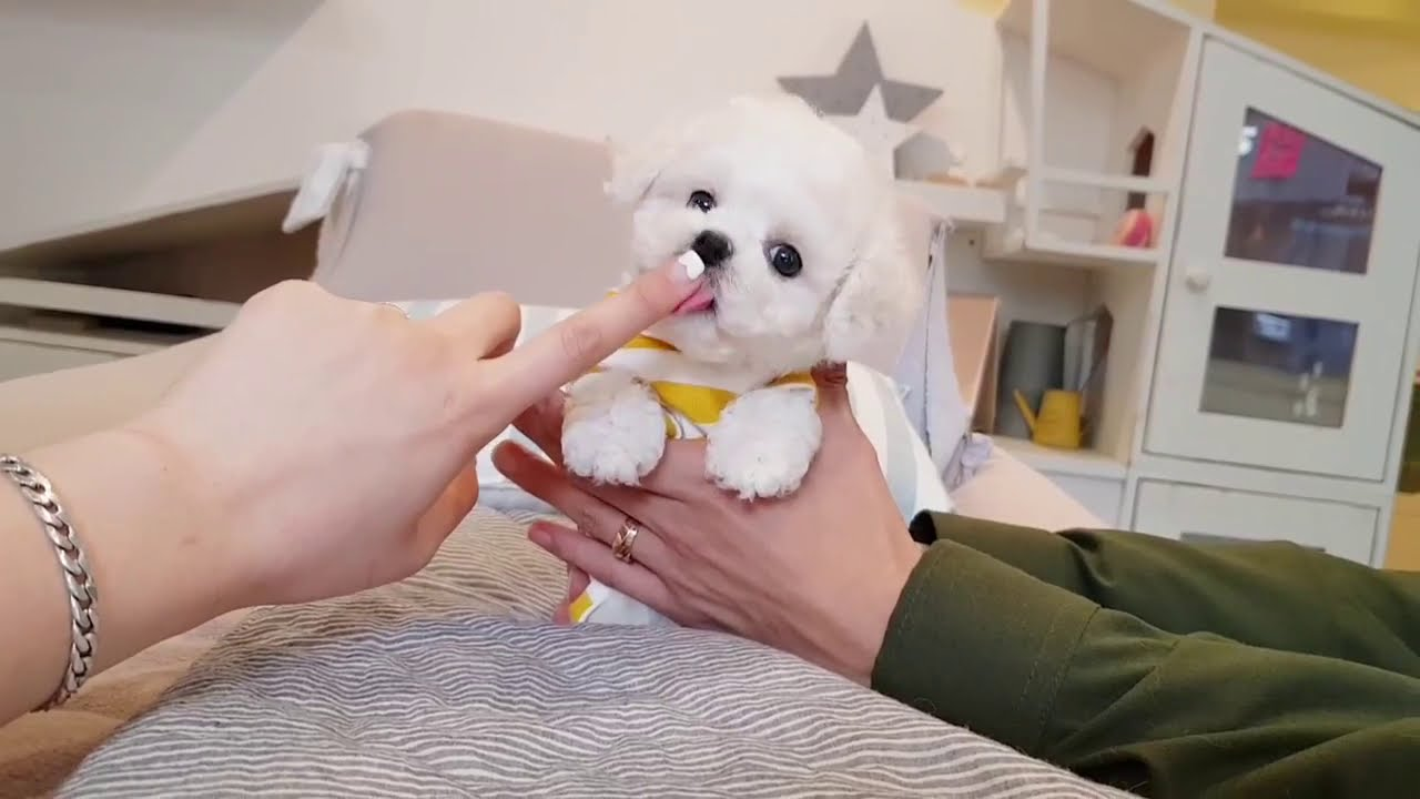 Funny Puppies | lovely puppy videos |Teacup puppies | Animal Ptv