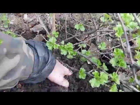 Размножение и Посадка Крыжовника Весной! Плодовые Кустарники для Сада