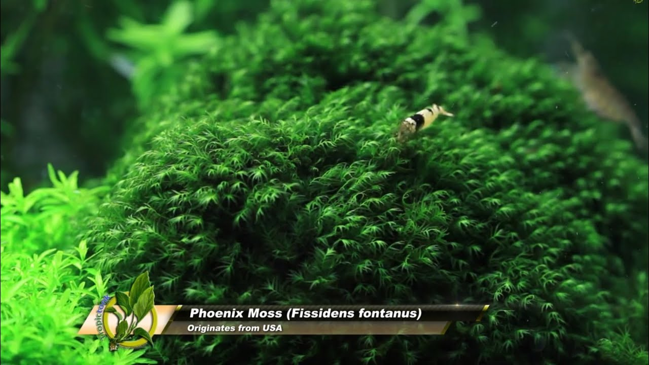 Moss Phoenix: features of plants for aquaspace 24
