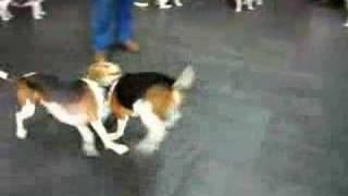 Duke At Big On Beagles 2007 Fundraiser