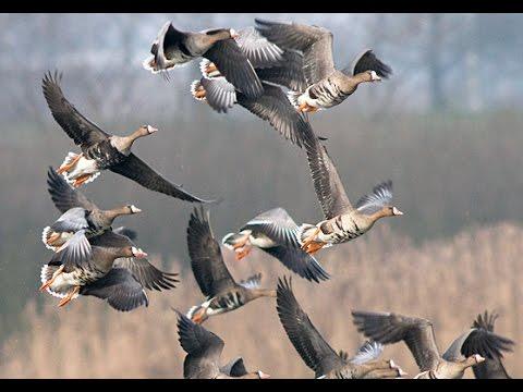 Охота на гуся .