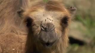 GaiaZOO - de Kamelen