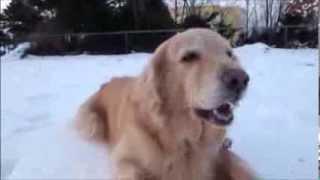 2013.12.20撮影 雪遊びが大好きなゴールデン。雪のかけらをシャリシャリ...