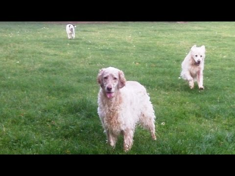 English Setter Otis, Phoebe, Peppa Bichon & OUR Albert  Golden Oldie.