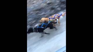 Labpups.com - Labrador Retriever Learns To Be A Sled Dog