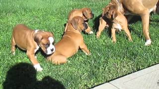 Boxer Puppies For Sale In Pa