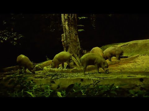 Pig Babirusa, Deer Pigs roaming at Night Safari Singapore video with original sound