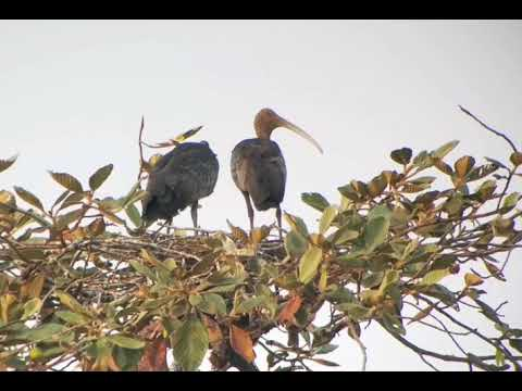 Giant Ibis - Ladong - bird guide at SVC