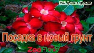 Адениумы! Посадка в новый субстрат! ZeoFlora для кактусов и суккулентов!