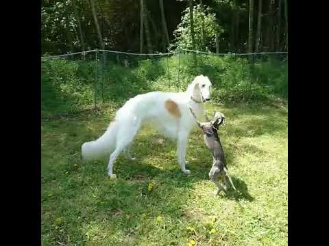 Borzoi & Italian Greyhound - Dogs Playing Videos
