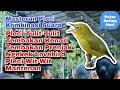 Masteran Pleci Terbaru  Full Variasi Tembakan  Mp3 - Mp4 Download