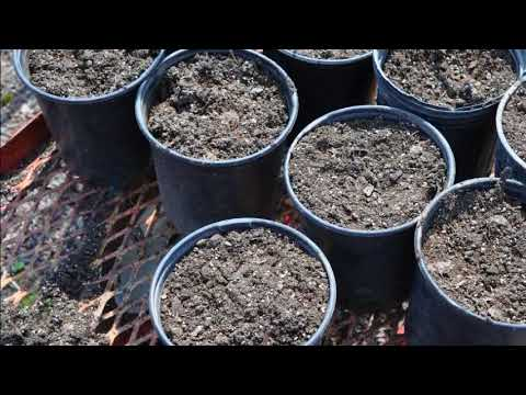 Growing Of Ornamental Grasses in Pots