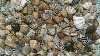 糸島に潮干狩り行ってきました。大量を求めてひたすら掘るのみ.