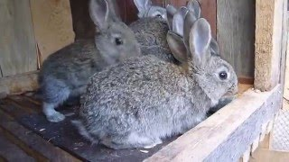 Домашні кролики! Годування кролів
