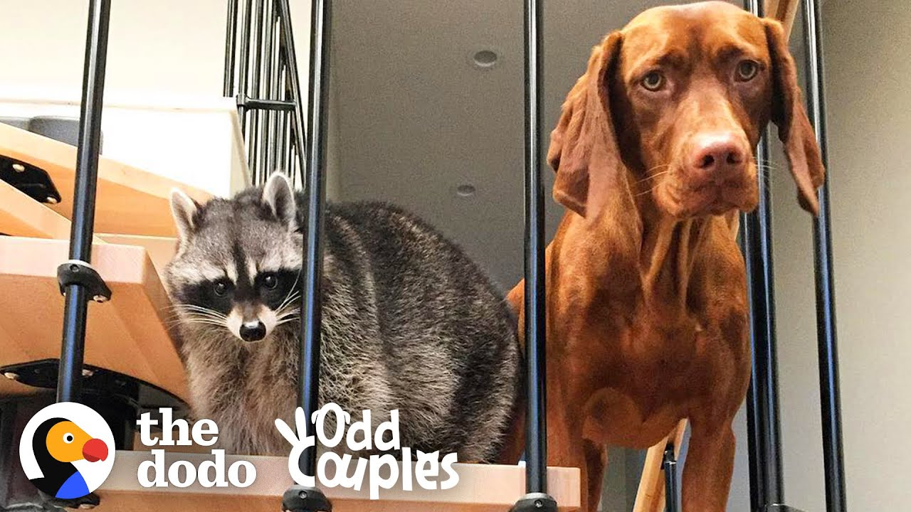 Raccoon Was Only Child Until Puppy Sister Comes Home | The Dodo Odd Couples