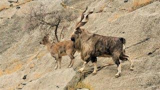 اخطر قتال بين ذكور الماعز الباكستاني فوق الجبال 🐐