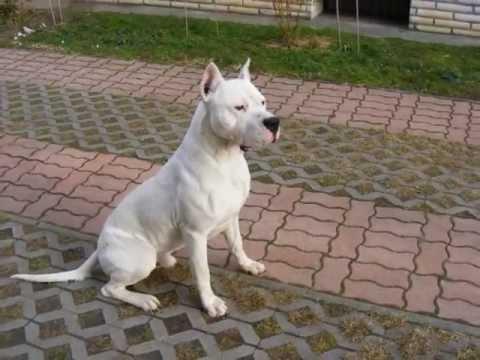 2012 Argentin dog Dogo argentino VOLT puppy