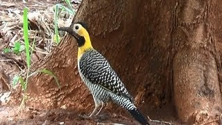 Pica-pau-do-campo, Colaptes campestris, Campo Flicker, Pássaros silvestres,