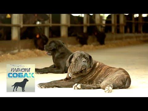 Планета собак. Кане-корсо