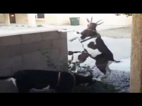 Baaad goats roam Santa Fe streets