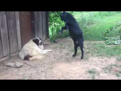 Viral Video UK: Goat annoys dog
