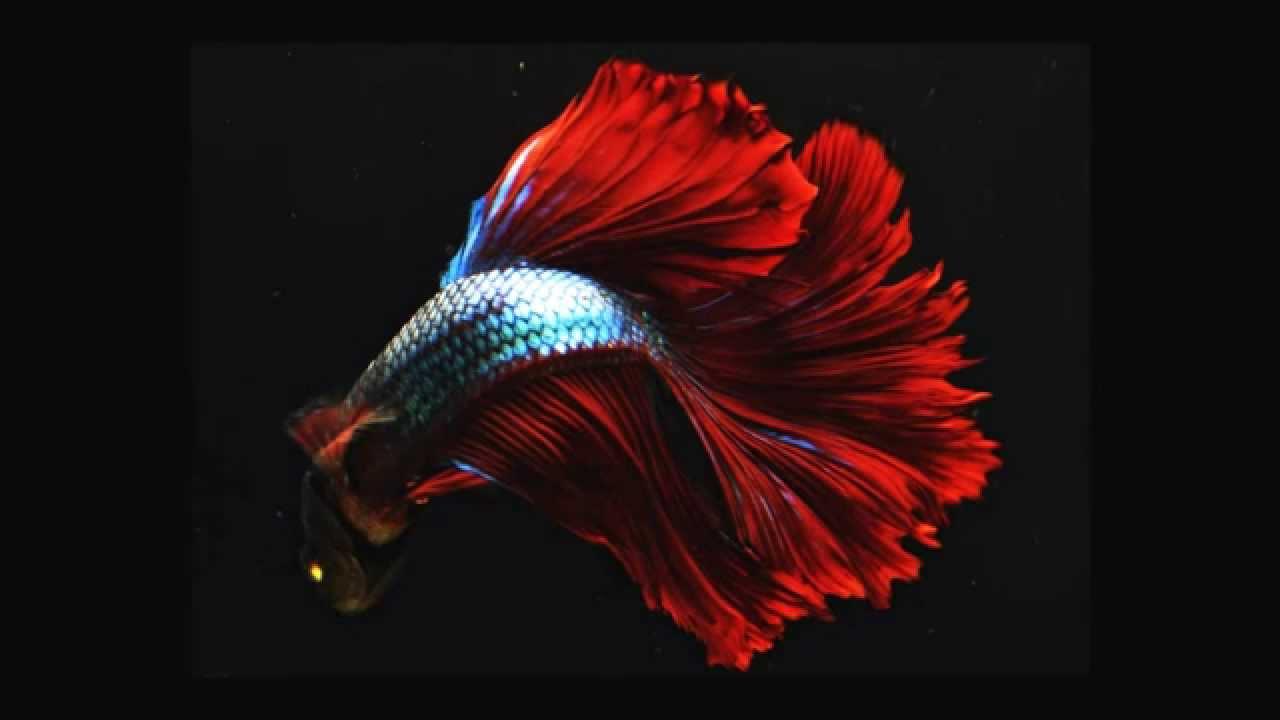 Videoscheda del betta splendens pesce combattente youtube - Pagina di colorazione del pesce ...