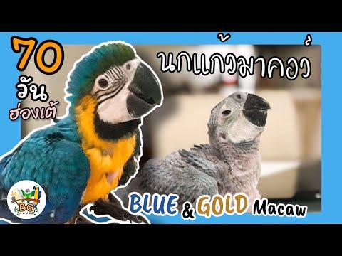 BG HOUSE EP.3 การเติบโตของนกแก้วมาคอว์ ฮ่องเต้อายุครบ 70 วัน Macaw's growth day by day