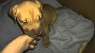 Bella 8 Weeks Old English Mastiff X Dogue De Bordeaux