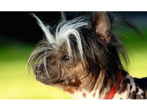 Top 10 Ugliest Dog Breeds